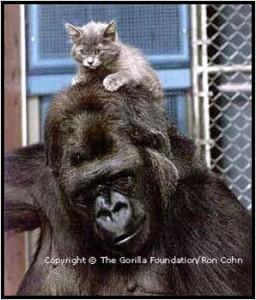 Gorilla with Kitten